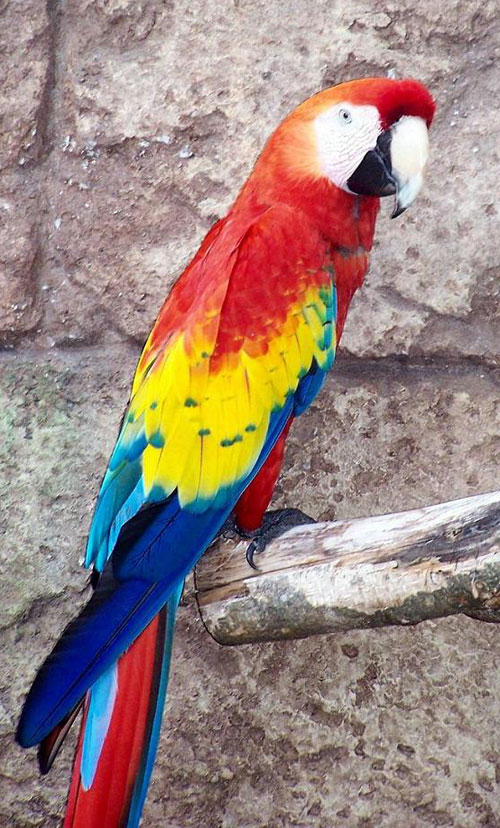 Beautiful red blue and yellow macaw photo