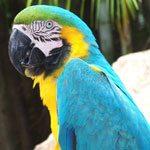 macaw-300