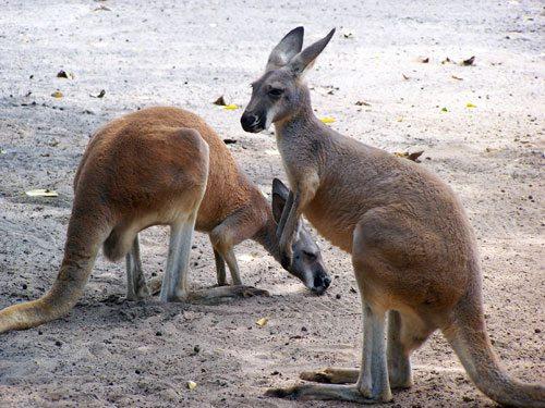 Photos of Kangaroos at the Zoo