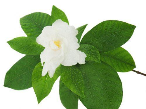 Gardenia flower (Gardenia jasminoides) isolated on white backgro