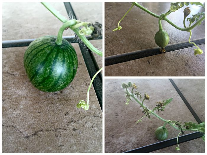 WGrowing Watermelon in Containers