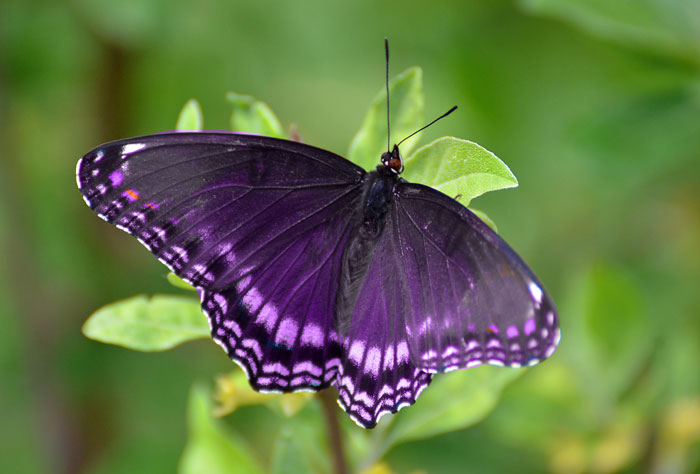 Puprle Butterfly Meaning