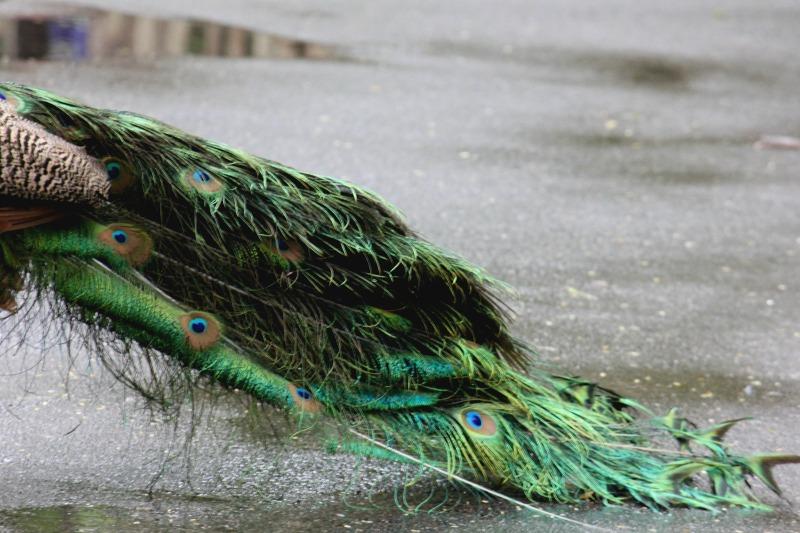 peacock-palm-beach-zoo-series-2