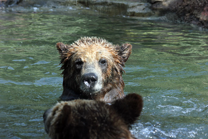 Palm Beach Zoo Grizzly Bears