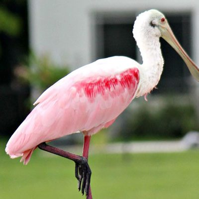 Roseate Spoonbill Spotted in South Florida