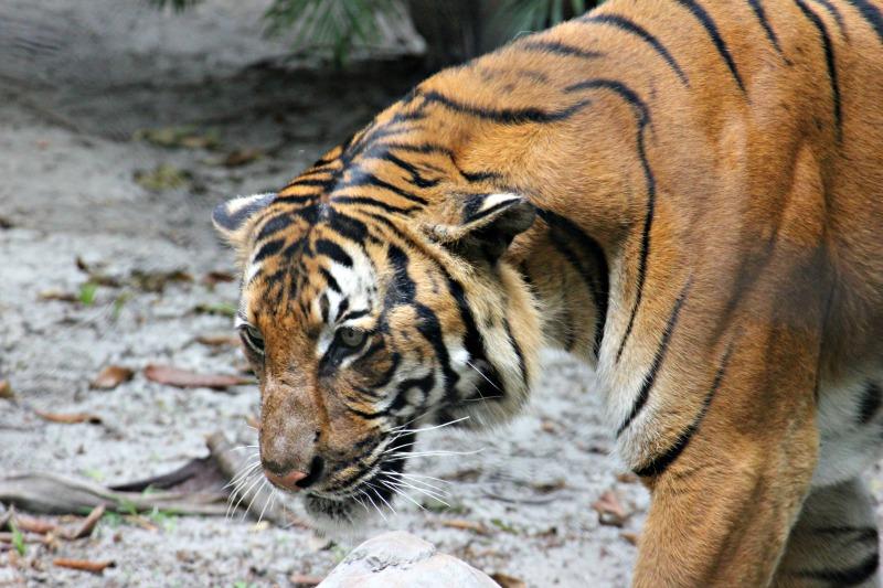 Tiger Palm Beach Zoo
