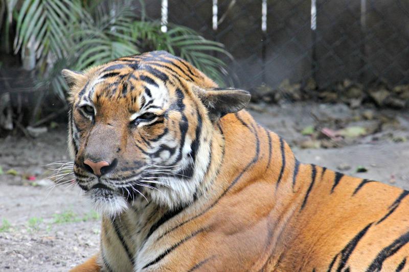 tiger-palm-beach-zoo-series-2