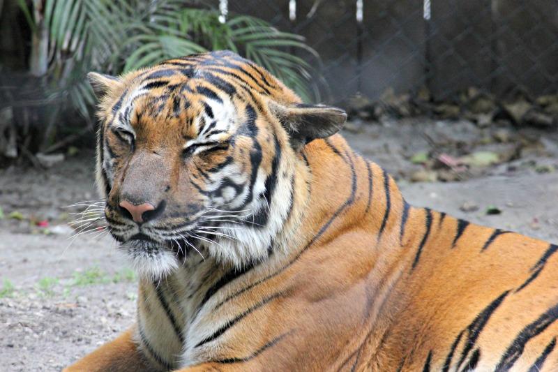 tiger-palm-beach-zoo-series-3