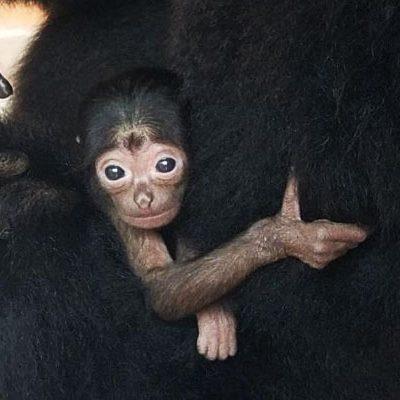 Palm Beach Zoo Announces Birth of  Baby Siamang